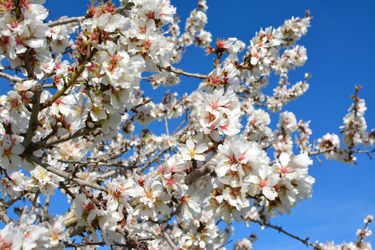 Spain: the fragrant spring of the Balearics